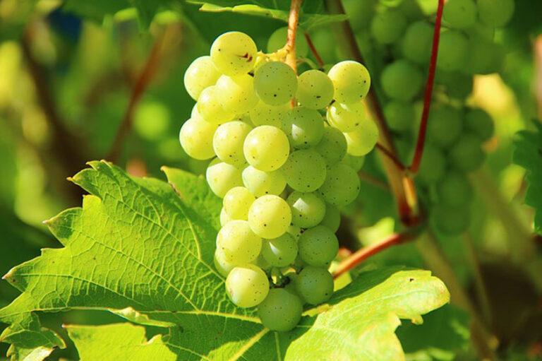 Skrivnost Brezjanskega mašnega vina