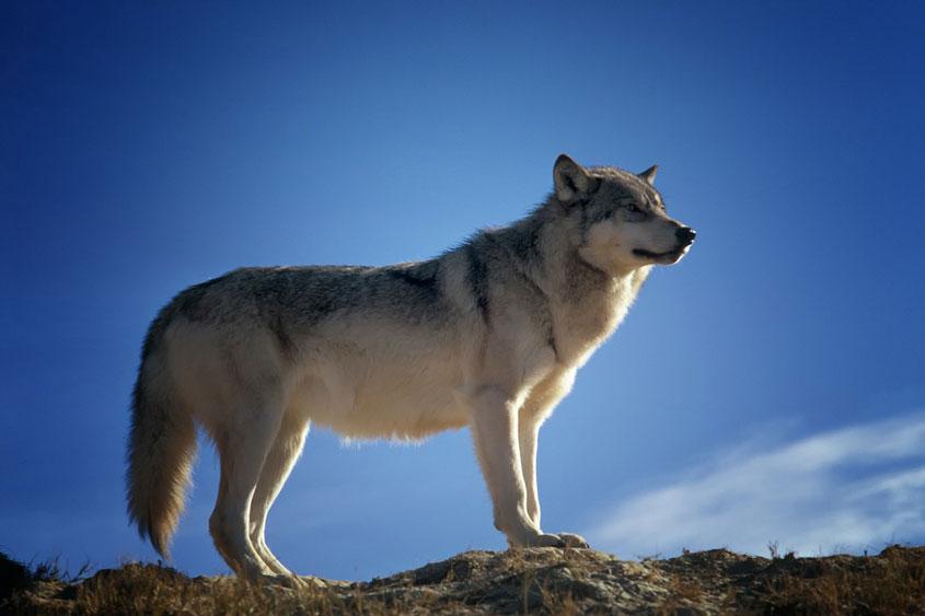 dva-volka